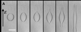 Droplet deformation as voltage increases
