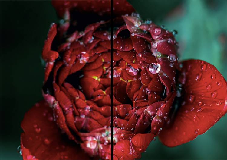 An image of a rose, one side blurry and the other sharpened by the algorithm