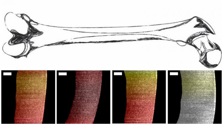 A drawing of a bone (top) with layered images of its interior created by OCT (bottom)