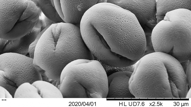 Redbud pollen under scanning electron microscope at 2500x magnification