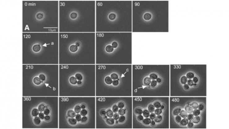 A series of images showing first a single cell and then more and more complex arrangements of cells