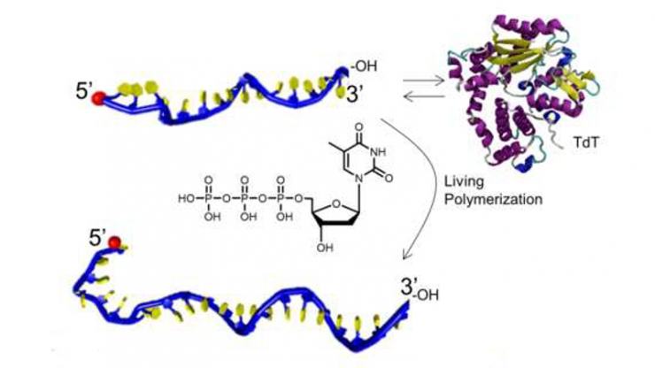 A schematic of how TdT builds precise single strands of DNA